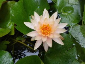 Harmonisation Lotus