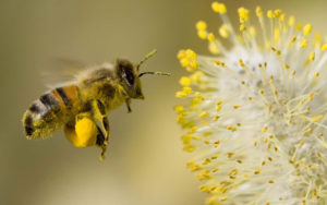 Abeille collectant pollen